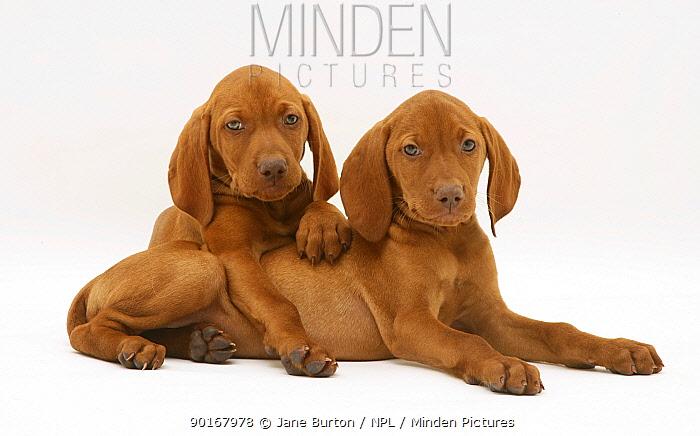 Two Hungarian Vizsla puppies lying down  -  Jane Burton/ npl