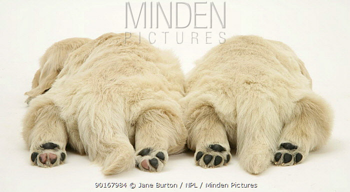 Rear view of two sleeping Golden Retriever pups with hind paws outstretched  -  Jane Burton/ npl
