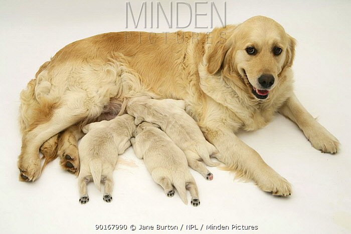 Golden Retriever lying down, suckling pups  -  Jane Burton/ npl