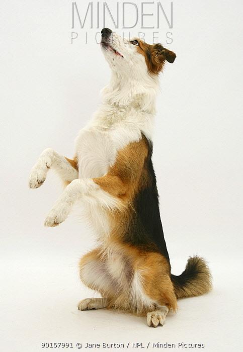 White-faced Border Collie dog 'begging'  -  Jane Burton/ npl