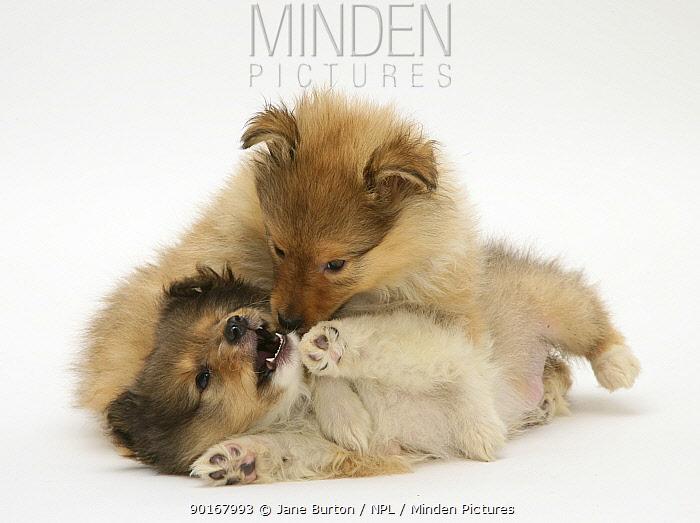 Two sable Shetland Sheepdog pups play-fighting  -  Jane Burton/ npl