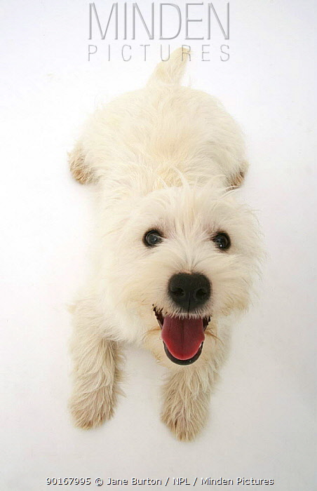 West Highland White Terrier, from above, looking up eagerly  -  Jane Burton/ npl