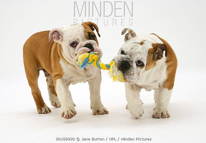 Two Bulldog pups carrying a ragger  -  Jane Burton/ npl
