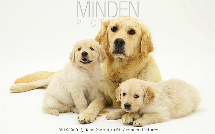 Two Golden Retriever bitch lying down with two pups, 5 weeks old  -  Jane Burton/ npl