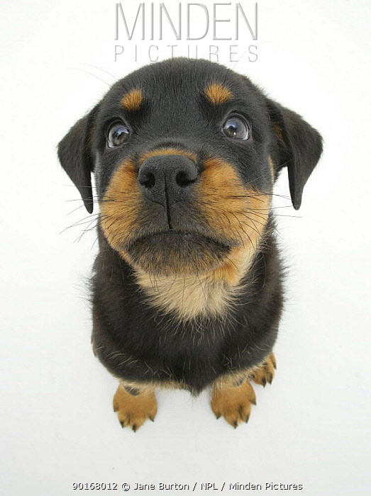 Two Rottweiler pup, 8 weeks old, sitting down and looking up  -  Jane Burton/ npl
