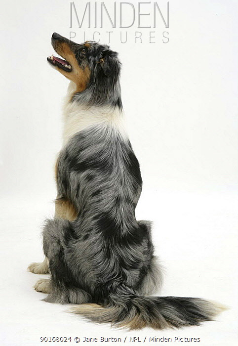 Back view of blue merle Border Collie sitting down and looking up to one side  -  Jane Burton/ npl