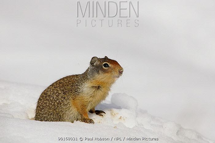 Columbian ground squirrel (Spermophilus columbianus) adult in snow, Rockies, BC, Canada  -  Paul Hobson/ npl