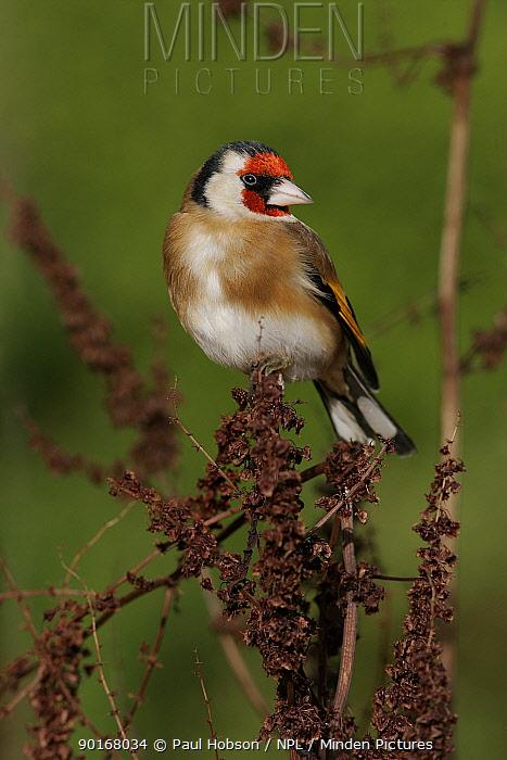 Goldfinch (Carduelis carduelis), on dead Sorrel, Peak District, UK  -  Paul Hobson/ npl