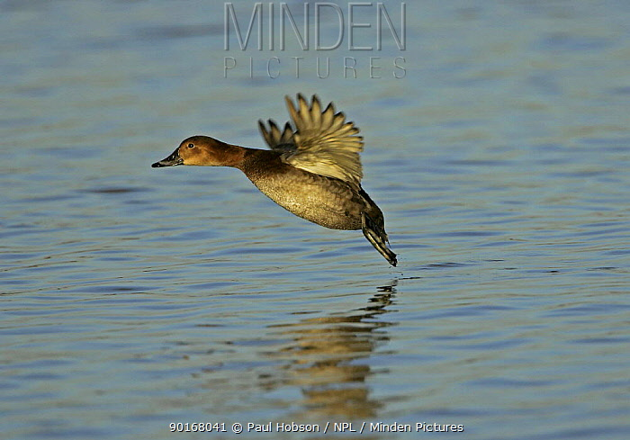 European pochard (Aythya ferina) female taking off from water, Gloucester, UK  -  Paul Hobson/ npl