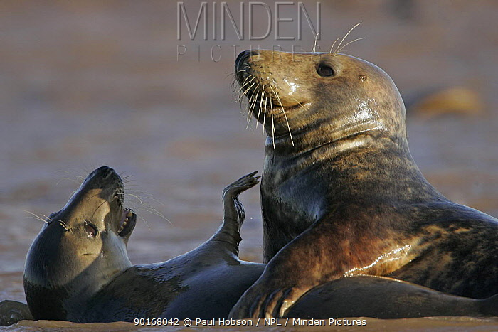 Grey Seal (Halichoerus grypus) Two seals playing in the surf, Lincs Coast, UK  -  Paul Hobson/ npl