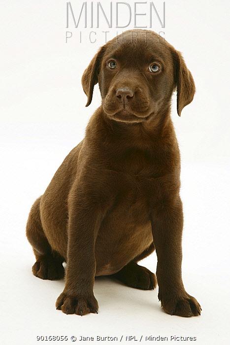 Chocolate Labrador Retriever pup sitting down  -  Jane Burton/ npl