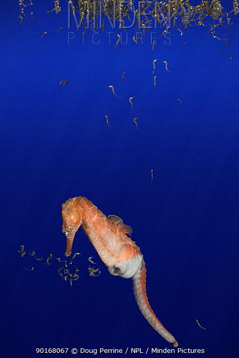 Northern, lined, Atlantic seahorse (Hippocampus erectus) male giving birth, expelling fry from pouch, young fry then float to the water's surface Captive, digitally manipulated  -  Doug Perrine/ npl