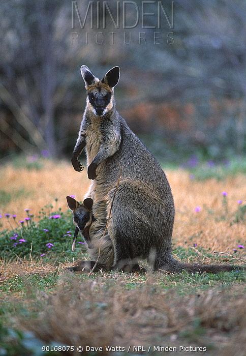 Swamp wallaby (Wallabia bicolor) female with joey, Queensland, Australia  -  Dave Watts/ npl