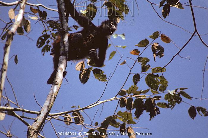 Black Handed Spider Monkey calling from tree tops (Ateles geoffroyi) Costa Rica  -  Tim Martin/ npl