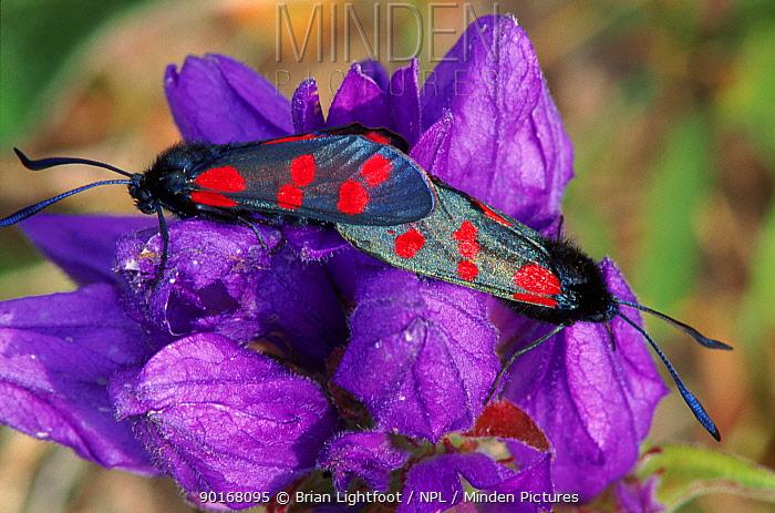 Six Spot Burnet Moths mating on bellflower, Scotland  -  Brian Lightfoot/ npl