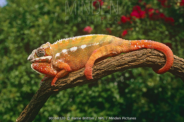 Panther chameleon, red sub species (Chamaeleo pardelis) colour is where one male displays to another male, captive  -  Barrie Britton/ npl