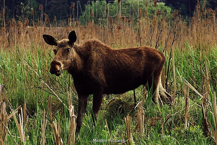 Moose (Alces alces) or European Elk in grass Mazury Poland  -  Andrew Harrington/ npl