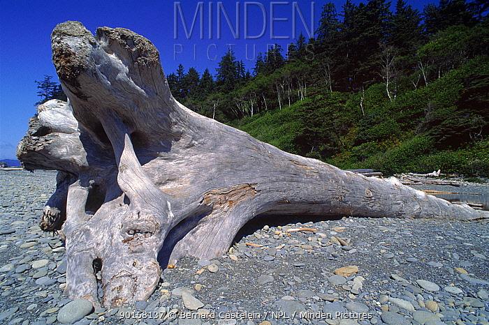 Drift- wood, Olympic NP beach Washington, USA  -  Bernard Castelein/ npl