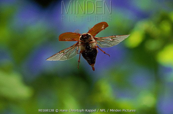 Common cockchafer (Maybug) in flight, Germany  -  Hans Christoph Kappel/ npl