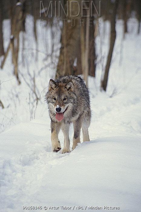 European Grey wolf in Bialowieski NP, Poland  -  Artur Tabor/ npl