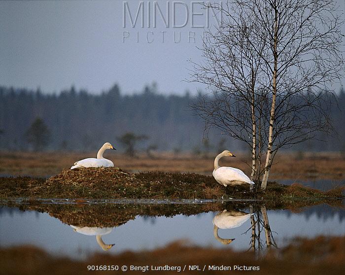 Whooper Swans on the nest (Cygnus cygnus) Varmland, Sweden  -  Bengt Lundberg/ npl