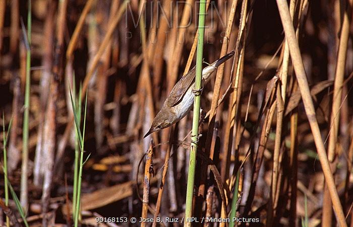 Reed warbler in reeds (Acrocephalus scipraceus) SPain  -  Jose B. Ruiz/ npl