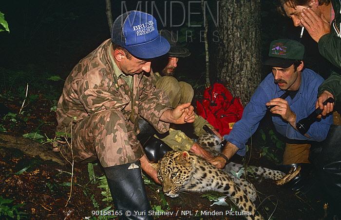 Researcher fixes radio collar to Amur leopard (Panthera pardus orientalis) Ussuriland, Far East Russia 1992  -  Yuri Shibnev/ npl
