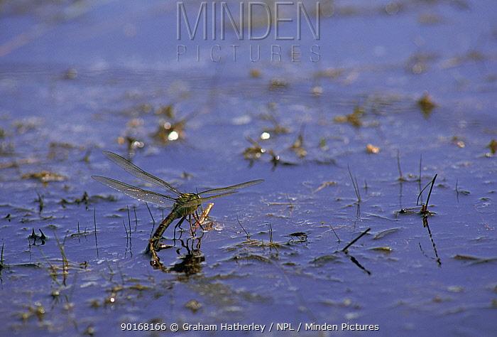 Southern hawker dragonfly female (Aeshna cyanea) oivipositing Dorset, England, UK, Europe  -  Graham Hatherley/ npl