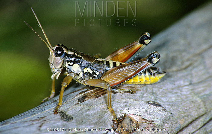 Grasshopper, Male (Podisma pedestris) former Yugoslavia  -  Hans Christoph Kappel/ npl