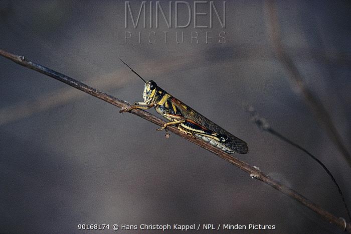 Painted locust (Schistocerca melanocera) Galapagos  -  Hans Christoph Kappel/ npl