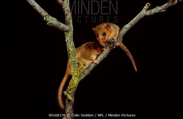 Two Dormice (Muscardinus avellanarius) captive, UK  -  Colin Seddon/ npl