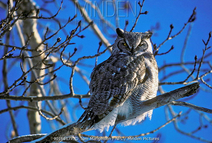 Great horned owl in tree (Bubo virginianus) Canada, Saskatchewa  -  Tom Mangelsen/ npl