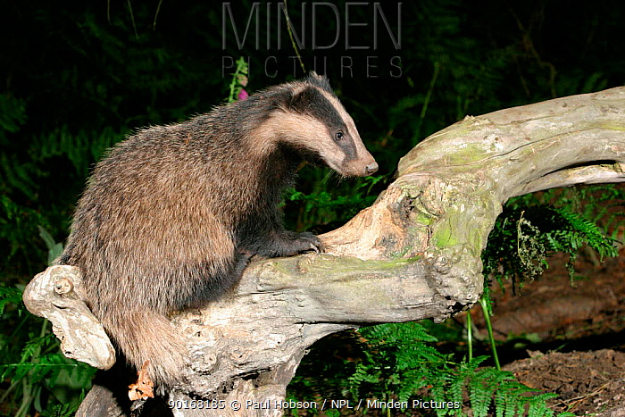 Badger (Meles meles) on tree in woodland, Yorkshire, England  -  Paul Hobson/ npl