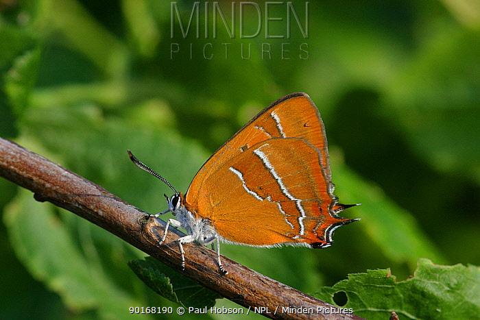 Brown hairstreak butterfly (Thecla betulae) on blackthorn, England  -  Paul Hobson/ npl
