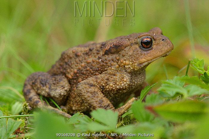 Common toad portrait (Bufo bufo) Yorkshire, England  -  Paul Hobson/ npl
