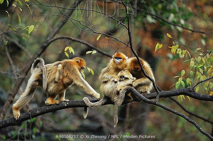 Golden snub nosed monkeys (PYGATHRIX ROXELLANA) grooming in tree, China  -  Xi Zhinong/ npl