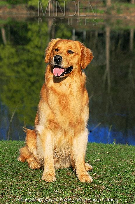 Domestic dog sitting portrait, Golden retriever (Canis familiaris) Illinois, USA  -  Lynn M. Stone/ npl