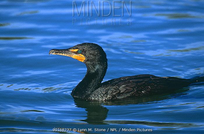 Double crested cormorant (Phalacrocorax auritus) Florida, USA  -  Lynn M. Stone/ npl