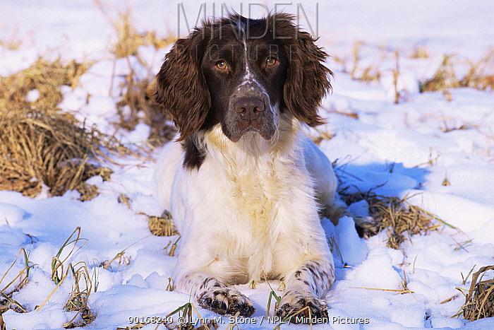 Domestic dog, English springer spaniel, Illinois, USA  -  Lynn M. Stone/ npl