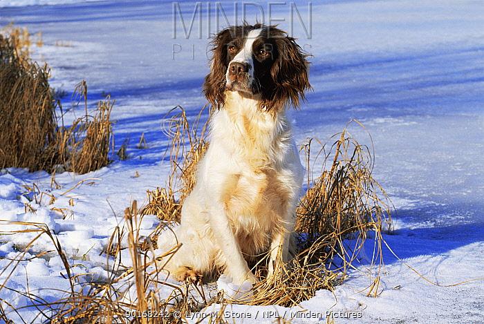 Domestic dog, English springer spaniel, in snow, Wisconsin, USA  -  Lynn M. Stone/ npl