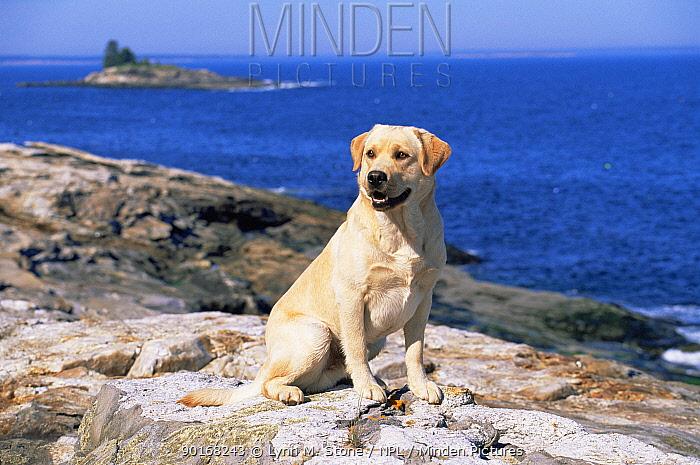 Domestic dog, Labrador retriever on coast, Maine, USA  -  Lynn M. Stone/ npl