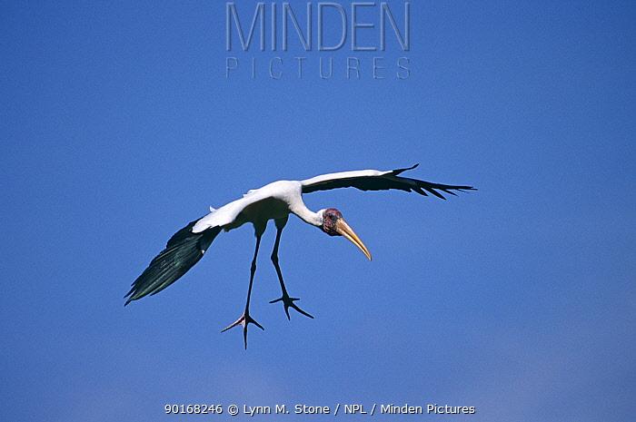 Milky stork (Mycteria cinerea) landing, Asia  -  Lynn M. Stone/ npl