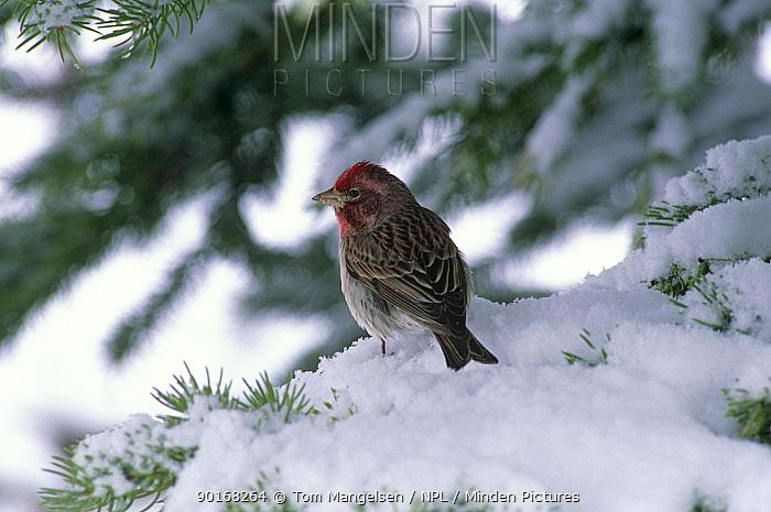 Cassin's finch (Carpodacus cassinii) in snow, Wyoming, USA  -  Tom Mangelsen/ npl