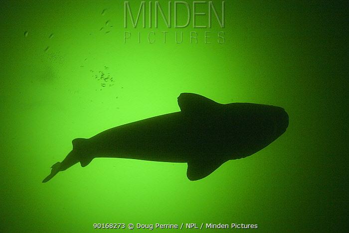 Greenland sleeper shark (Somniosus microcephalus) silhouette, St Lawrence River estuary, Canada  -  Doug Perrine/ npl