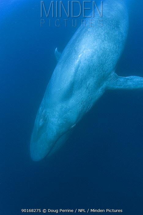 Blue whale (Balaenoptera musculus) California, USA, Endangered  -  Doug Perrine/ npl