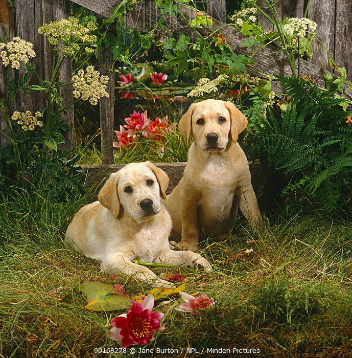 Two Yellow Labrador puppies with fence, flowers and waterlillies, 10 weeks old  -  Jane Burton/ npl
