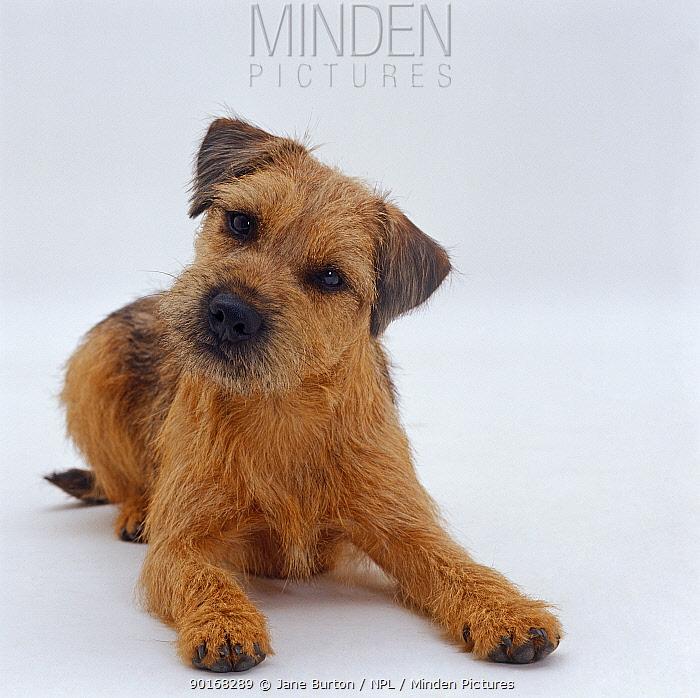 Border Terrier dog, lying down with head up, tilted  -  Jane Burton/ npl