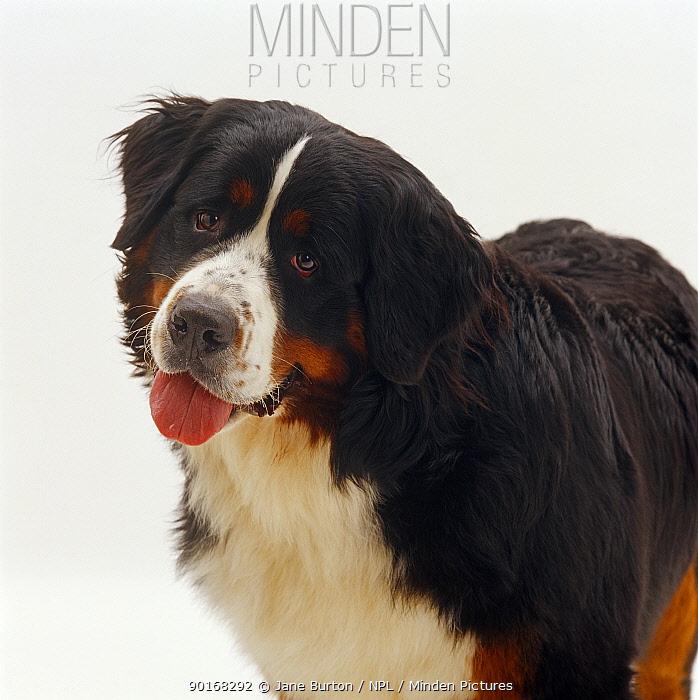 Bernese Mountain dog, 10 months old  -  Jane Burton/ npl