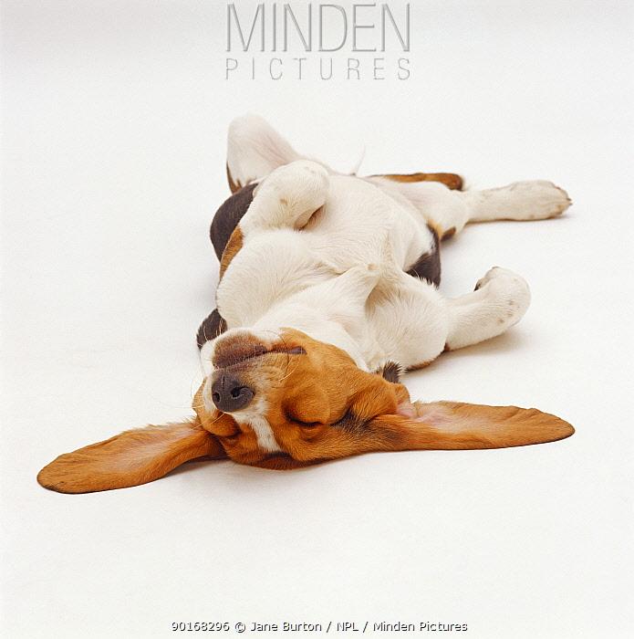 Basset Hound, sleeping upside down with ears spread  -  Jane Burton/ npl