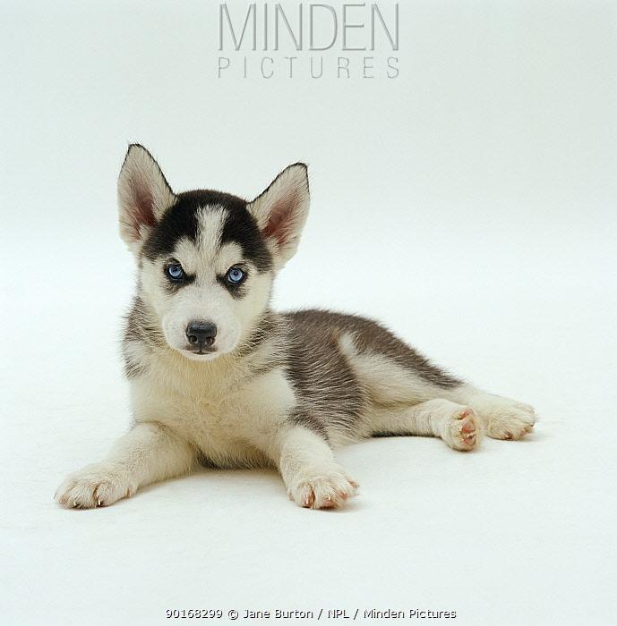 Blue-eyed Siberian Husky dog pup, 6 weeks old, lying down  -  Jane Burton/ npl